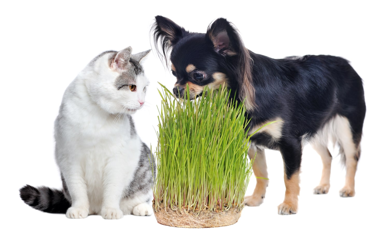 Why Dogs Eat Grass | Dogs Eating Grass | Dogs Vomiting
