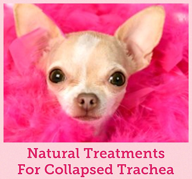 Treatment For Collapsed Trachea In Dogs Tracheal