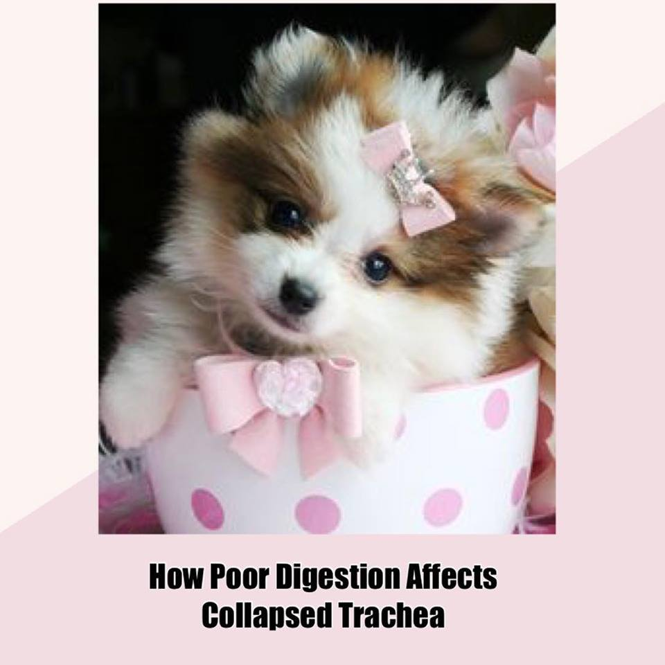 Treatment For Collapsed Trachea In Dogs