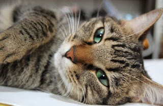 Best Cat Food For Cats With Stomatitis